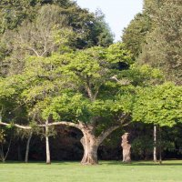 A Juglans cinerea tree, commonly know as butternut tree.