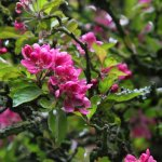 Pink flowers on the Malus shrub