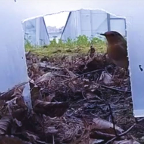 A robin caught on camera