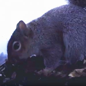 A close up of a squirrel sneaking away some food